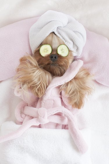 Yorkshire Terrier Relaxing at the Dog Grooming Spa