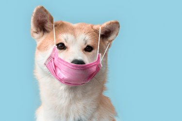 Sickness. Akita inu puppy in medical mask isolated on grey