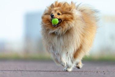 a shetland sheepdog plays with a little ball