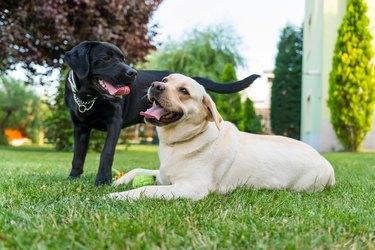 Black and white labradors