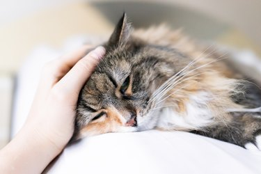 Closeup portrait of one sad calico maine coon cat face lying on bed in bedroom room, looking down, bored, depression, woman hand petting head