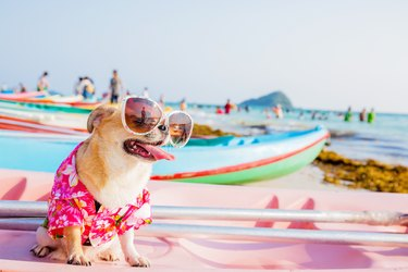 Dog on the beach wearing a shirt and sunglasses