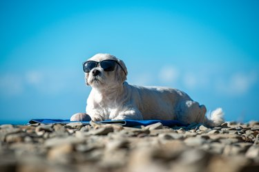Cute Dog With Sunglasses Relaxing on Coastline