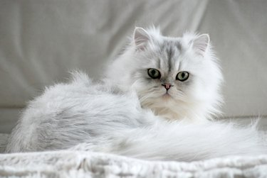 Fluffy white cat lying down looking into camera