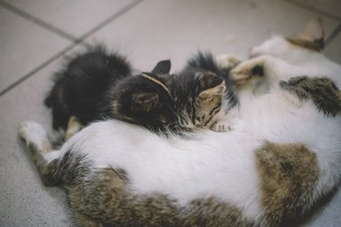 a mother cat breast feeding for her kitten