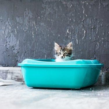 Little Siberian Breed Cat Sitting in Litter Box