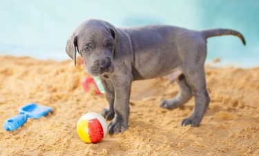 Purebred Great Dane puppy guarding its beach ball