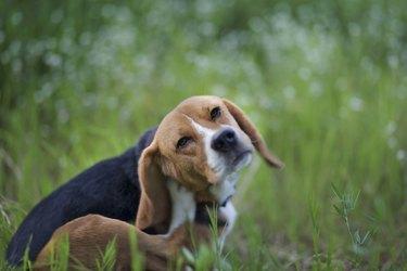 Beagle dog  in the wiild flower field.