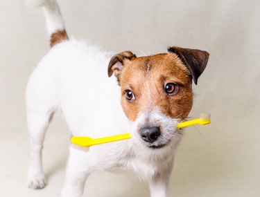 dog holding a yellow toothbrush in mouth