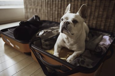 French bulldog lying in open suitcase