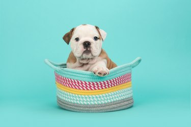 Close-Up Of Puppy Sitting In Multi Colored Basket Against Gray Background
