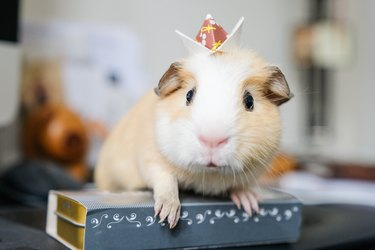Baby guinea pig with an origami crown on head