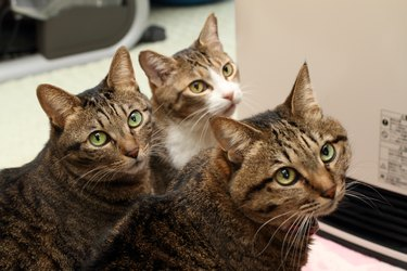 three cats looking in the same direction
