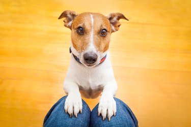 Dog begging by putting front paws on someone's lap