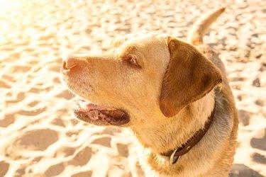 Labrador retriever on the beach. Sun flare