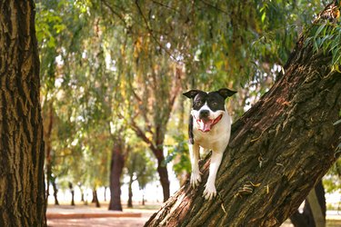 American staffordshire terrier having fun in central park on beautiful fall time afternoon.