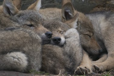 european wolf, Canis lupus lupus, captive, portraits and group of puppies