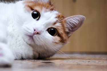 white cat with red spots sits and looks in side. home beautiful cat with green eyes
