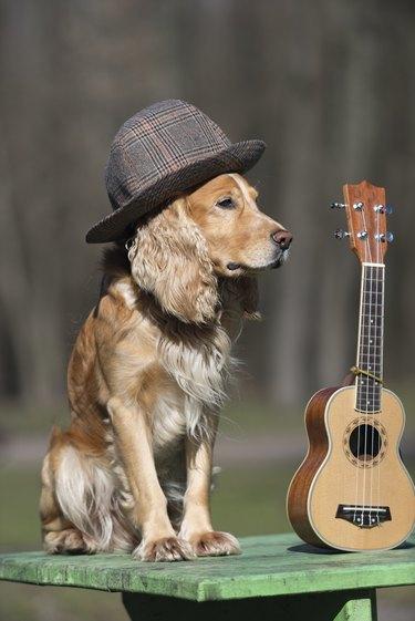 Dog spaniel of golden color with a ukulele