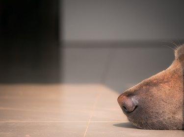 Nose of Brown Dog