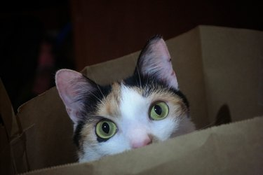 cat with top half of face peeking out of a box