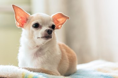 Little Chihuahua sitting on the couch in the room