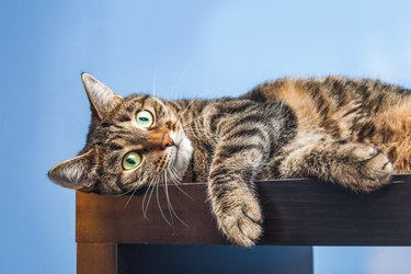 Cat lies on blue background.