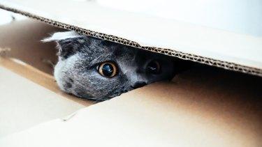 Cat hiding in a cardboard box