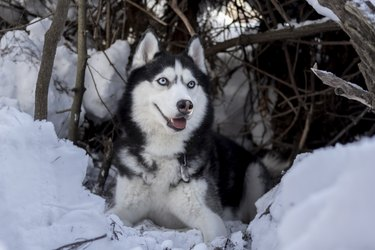 Siberian Husky dog rest on snow. Amazing husky dog with blue eyes lie in the shelter. Winter pet portrait