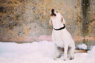 Barking labrador dog sitting outdoor in snow, winter season.