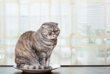 Cat sits in the white plate.