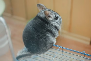 Grey fluffy chinchilla is sitting with his back to you on the cage. Grey fur.