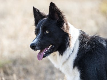 Dog - Border Collie, playing in the field outdoors.