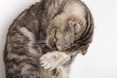 Cute sad cat Scottish Fold makes facepalm movement. Close