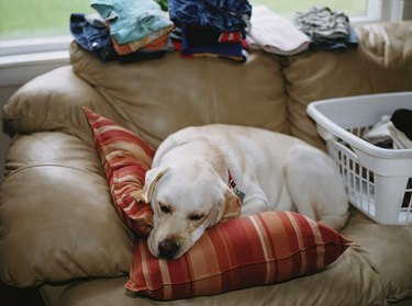 Yellow labrador sleeping on sofa near laundry