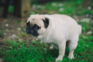 Pug dog pooping