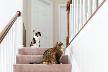 Two calico cats, maine coon sitting on carpet floor on top of second story level of house looking up by railing stairs, steps, staircase playing