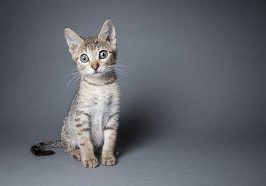 Adorable Tabby Kitten - The Amanda Collection