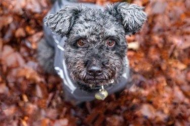 Hungarian sheepdog Pumi