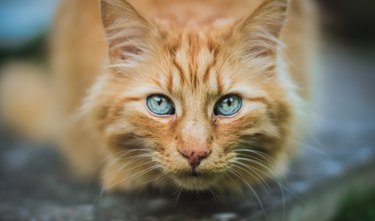 Crouching ginger cat