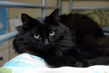 Black domestic cat laying on the bed horizontal photo closeup