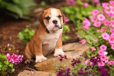 English Bulldog Puppy Sitting in Beautiful Garden