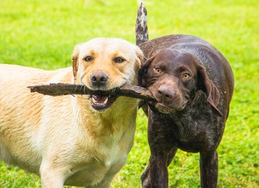 Labrador retriever and German shorthaired pointer dogs playing with a stick