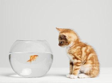 Kitten looking at fish in bowl, side view, studio shot