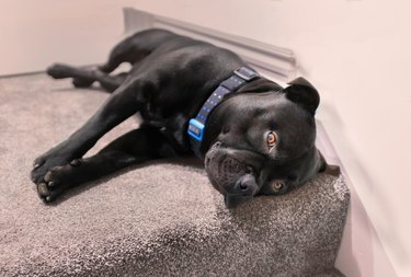 Staffordshire Bull Terrier dog lying on carpet at the top of interior stiars. He is wearing a collar and has his golden brown eyes open looking up at the camera. He is very relaxed