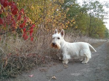 A wheaten Scottish Terrier on a rural road in the colors of autumn