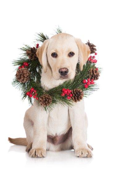 Labrador retriever puppy with a wreath