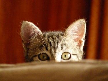 A striped cat peeks curiously over a ledge.