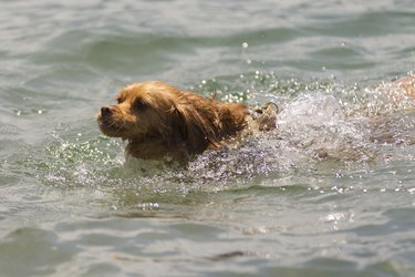 Spaniel mixed breed dog swimming in lake