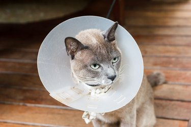Gray cat wear cone.